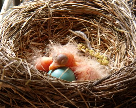 17 best images about robins eggs on pinterest