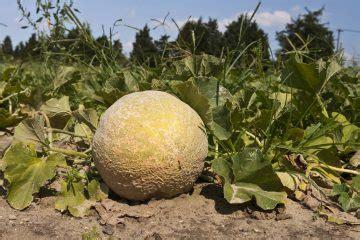 coltivare meloni in vaso coltivare la clivia tutte le indicazioni per non