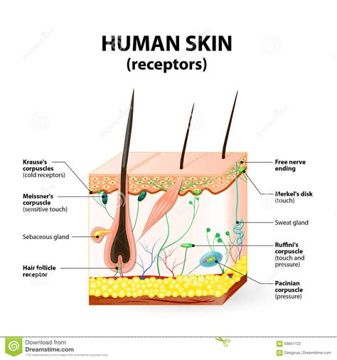 cross section of the skin human skin cross section www pixshark com images