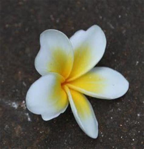 Minyak Atsiri Bunga Kamboja khasiat bunga kamboja manfaat daun