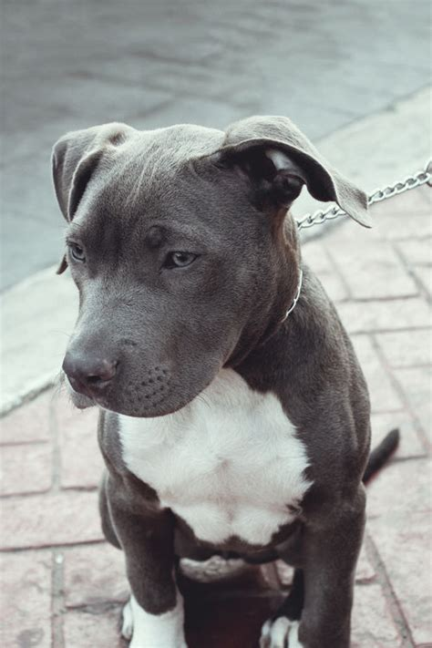 pics of pitbull puppies grey pit bull pictures photos and images for and
