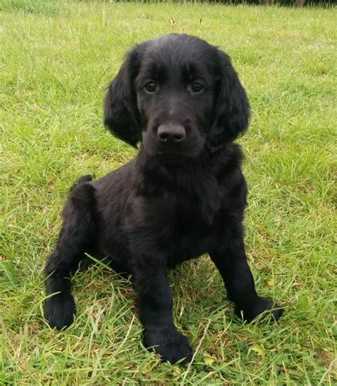 retriever doodle puppies for sale goldendoodle x flatcoat retriever puppy for sale sudbury