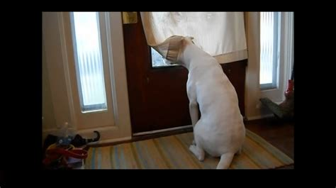 puppy waiting why this waits all day for his owner to come back may shock you