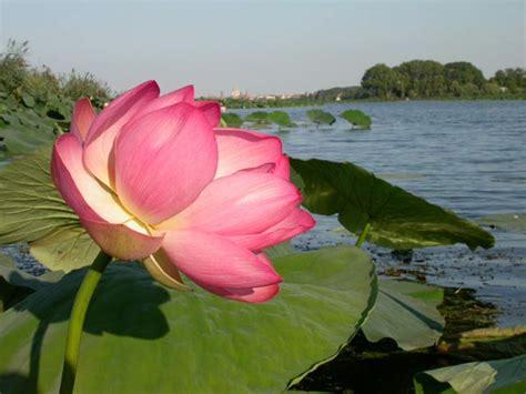 fiori di loto mantova zaniviaggiblog mantova i gonzaga fiori di loto e zucca