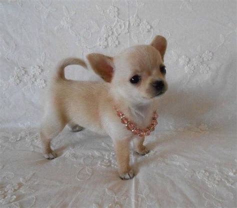 applehead chihuahua puppies for sale haired chihuahua puppies blackhairstylecuts