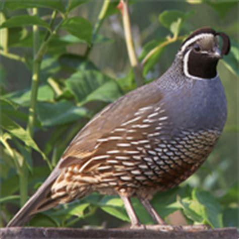 california quail sound to sage
