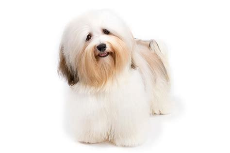 small breeds havanese havanese breed information