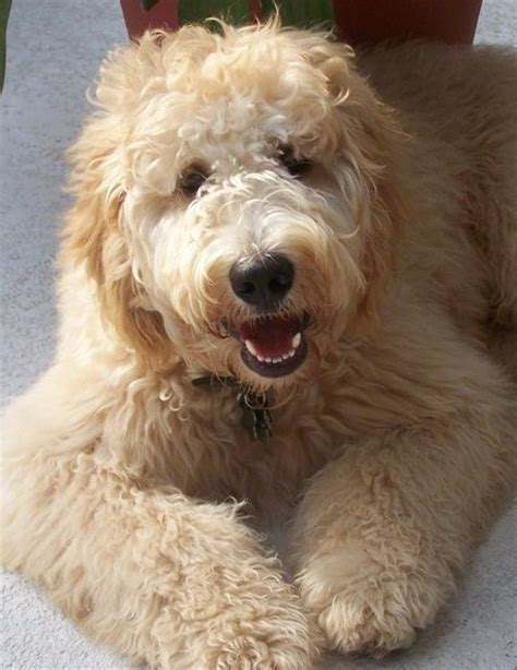 english goldendoodle goldendoodles english goldendoodle puppy breeder