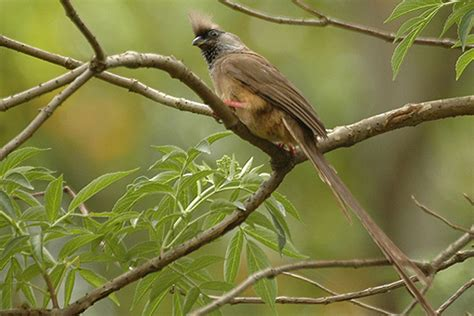 file speckled mousebird jpg wikimedia commons