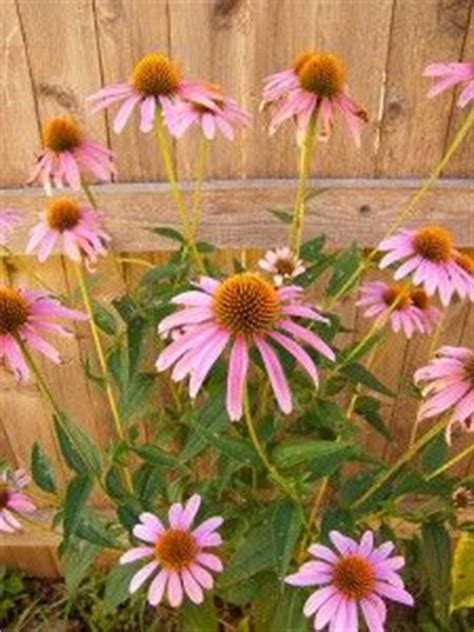 inexpensive perennials that grow and spread quickly playing in the dirt pinterest