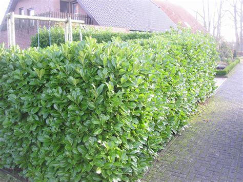 Kirschlorbeer Hecke Welche Sorte 2400 by Gro 223 Bl 228 Ttriger Kirschlorbeer Rotundifolia