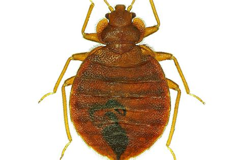 bed bug heat treatment effectiveness is bed bug heat treatment effective terminix