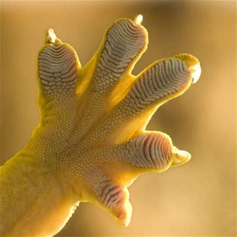 0007179898 the gecko s foot how scientists plasmonic metamaterials could make gecko toes