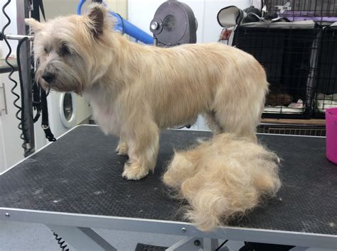 cairn terrier haircut cairn hair cuts cairn terrier haircut styles pictures of
