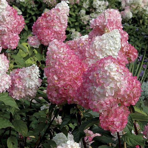 vanilla strawberry hydrangea butterfly gardening