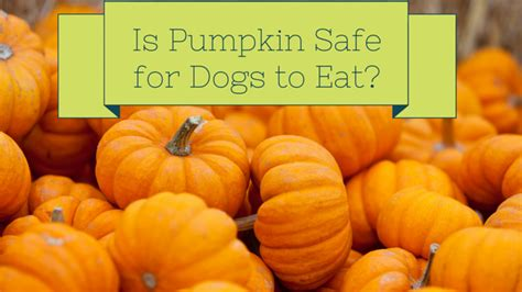 can dogs eat pumpkin pie pumpkin for dogs canned or cooked smart owners