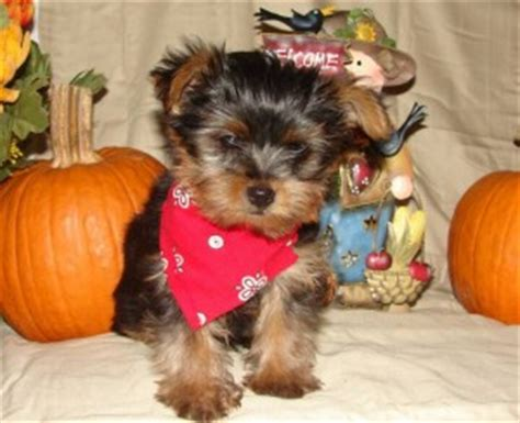 teacup yorkie puppies for sale in bakersfield ca akc blue samoyed puppies ready now bakersfield ca asnclassifieds