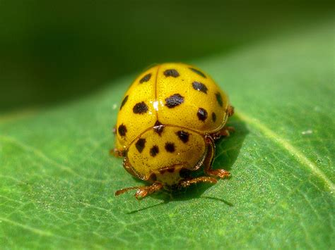 colors of ladybugs why are ladybugs so colorful treehugger