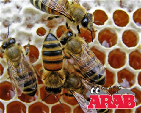 hornet wasp bees exterminator arab  southern indiana