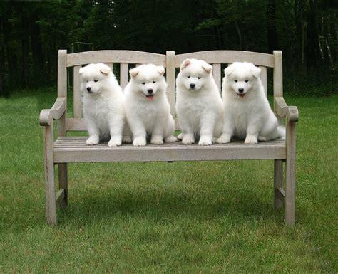 choosing a puppy choosing a samoyed club of america