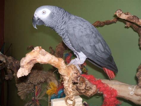 tucson parrot rescue parrot care