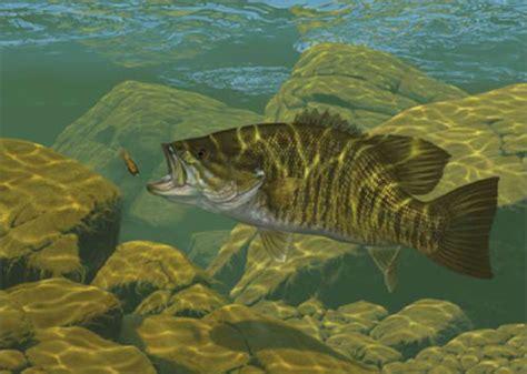 smallmouth bass wallpaper wallpapersafari