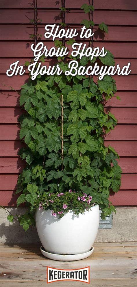 backyard hops backyard hops how to grow your own hops kegerator com