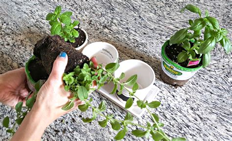 kitchen herb garden from dates to diapers kitchen herb garden from dates to diapers