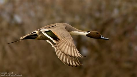 how to your to retrieve ducks the majesty and variety of ducks challenged by tar sands the national