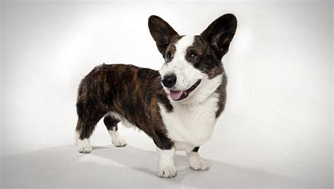 Pretty Shed by Cardigan Welsh Corgi Dog Breed Selector Animal Planet