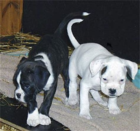 black and white boxer puppies black boxer dogs photograph beagle boxer black and white bo