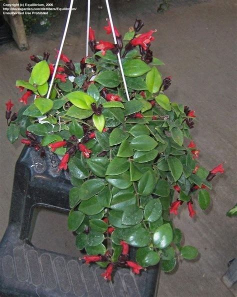 houseplant vine plantfiles pictures lipstick plant basketvine basket