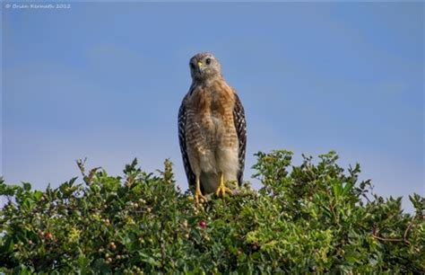 red shouldered hawk (buteo lineatus) being inquisative