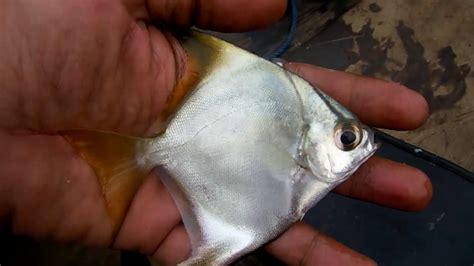 Ikan Tipis Puput 1 2 Kilo mancing mania kaltim
