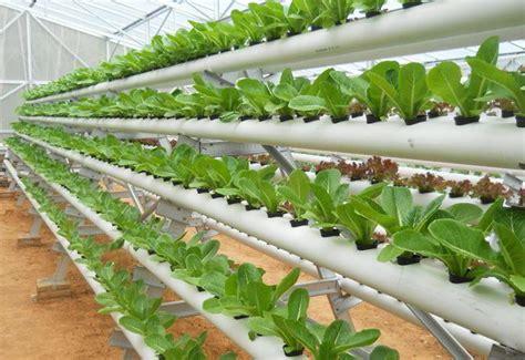 cara membuat hidroponik menggunakan paralon 5 teknik dan 2 metode menanam sayur di pipa paralon dan