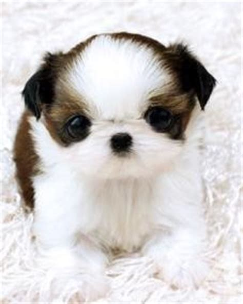 teacup shih tzu puppies for sale in nj registered tea cup shih tzu puppies for sale in trenton new jersey classified