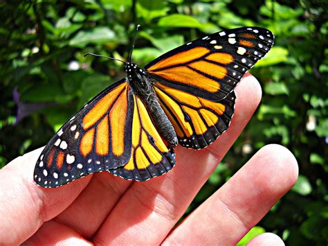 monarch butterfly monarch butterfly bette a stevens maine author