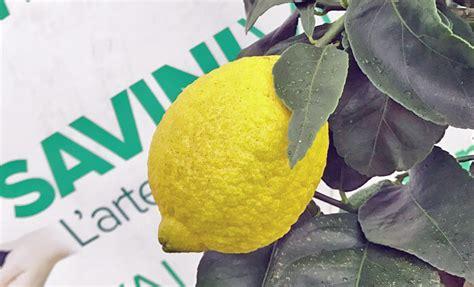come coltivare un limone in vaso piante limoni in vaso prezzi piante limoni domande e