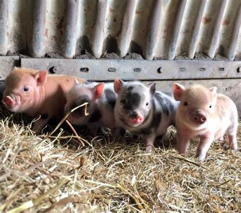 micro for sale micro pigs for sale for sale in tewkesbury