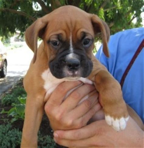 white boxer puppies for adoption hiya brown and white boxer puppies for adoption contact us with your