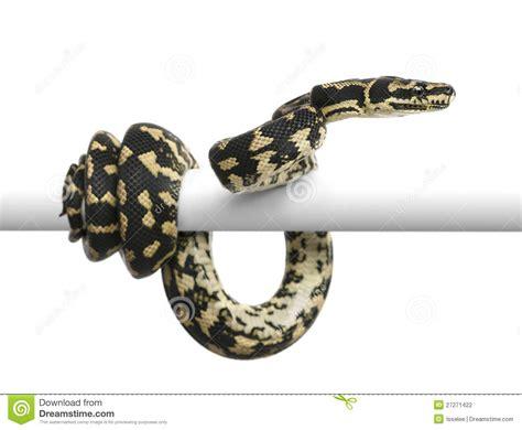 pitone tappeto jungle carpet python morelia spilota cheynei stock photo