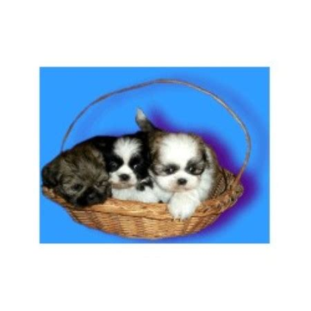 shih tzu rescue nebraska shih tzu breeders in nebraska freedoglistings breeds picture