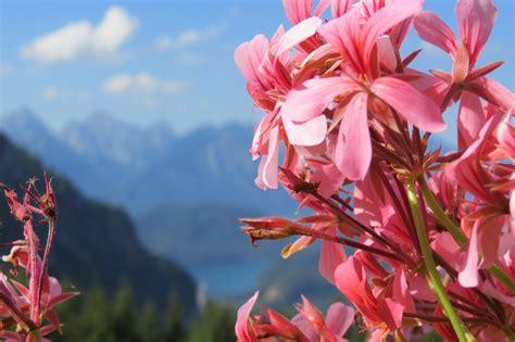 fiori di estate fiori di montagna geranio montagna estate
