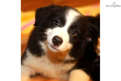 miniature border collie puppies for sale border collie puppies for sale in alabama picture and images