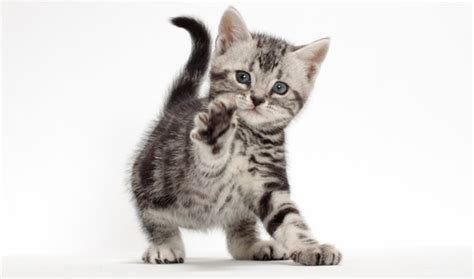 Do American Shorthair Cats Shed A Lot by American Shorthair Cat Breed Information