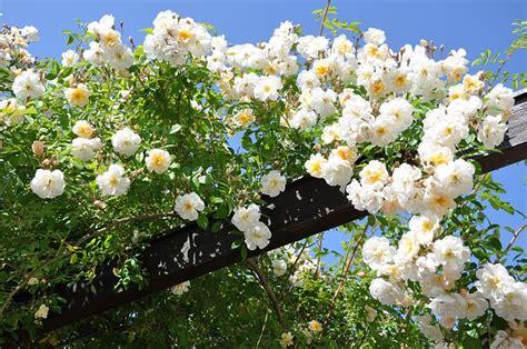 piante sempre fiorite piante ricanti variet 224 sempreverdi e fiorite cure e