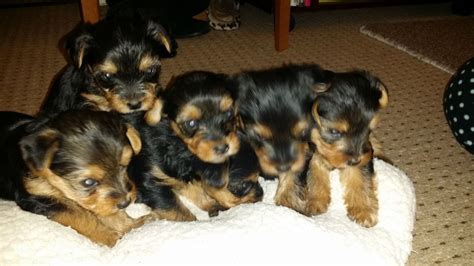 silver yorkie puppies silver terrier puppies for sale west pets4homes
