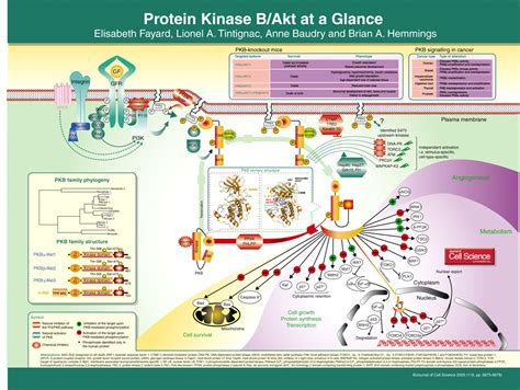 protein kinase b protein kinase b akt at a glance journal of cell science