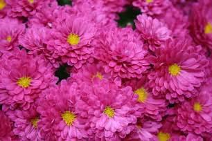 mums flower chrysanthemum mums chryanths auntie dogma s garden spot