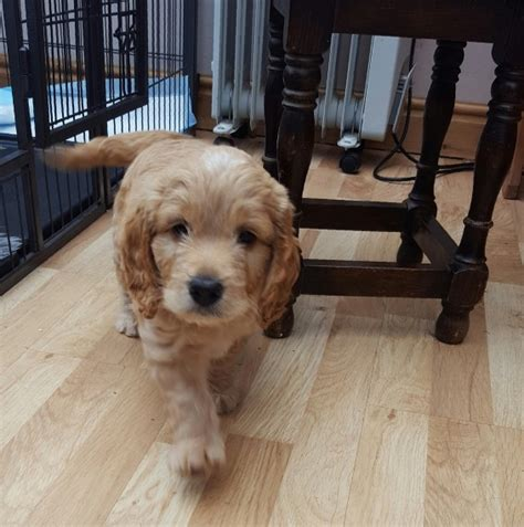 goldendoodle puppy phases yankee doodles cockapoo lancashire